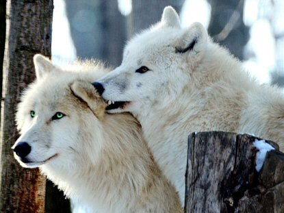 wolflove