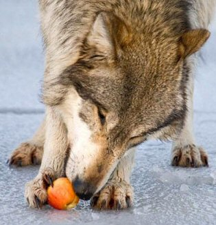 The Apple Feast