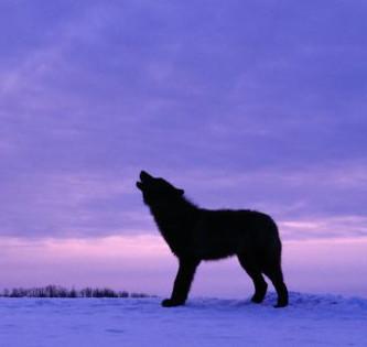 newday-wolf
