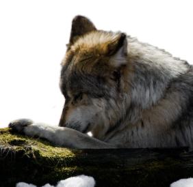 Wolf Prayers & Blessings