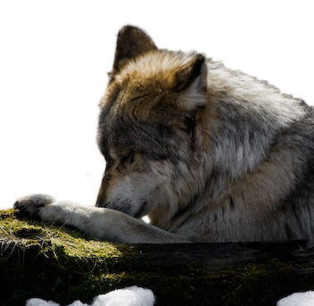 Wolf Prayers & Blessings