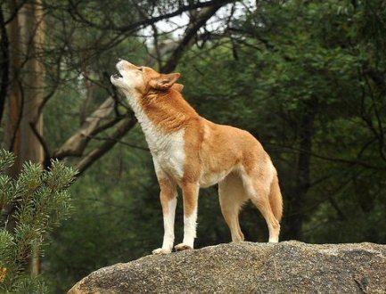 Howling Dingo