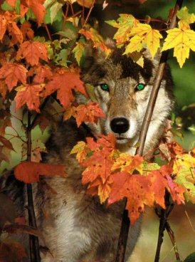 fallwolf