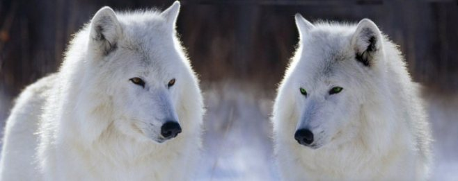 Twins by Springwolf