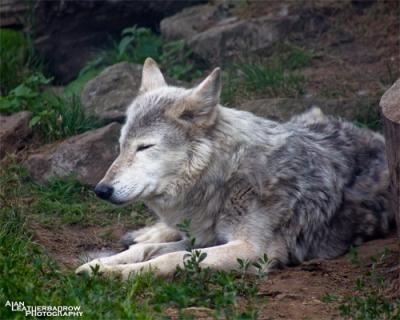 wolfmeditation2