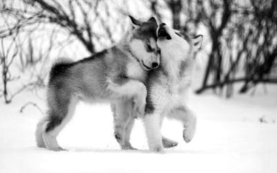wolf-puppies