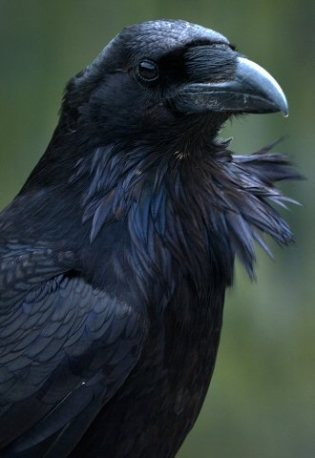The Magik of the Crow & Raven
