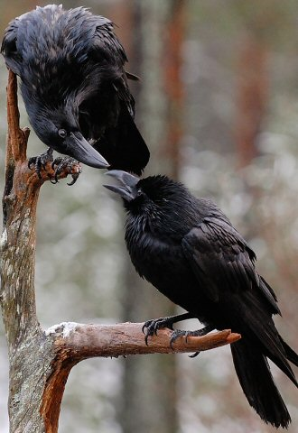 Crow and Raven Courtship