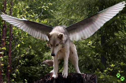 Winged Wolf - Wolf Wings