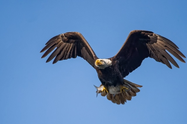 Fishing Bald Eagle (Photo : Flickr: Andrew E. Russell)