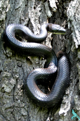 Black RatSnake by Springwolf Eastern Black Ratsnake<br>Photo by Springwolf 🐾 © 2012