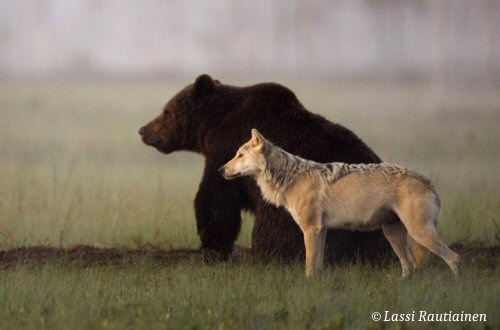 Brown Bear and Grey Wolf Shae Rare Friendship
